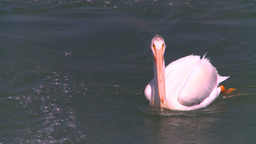 HD2008-7-14-6 pelican on river Stock Video Footage