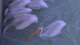 HD2008-7-14-8 pelicans feeding on river Stock Video Footage