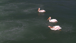 HD2008-7-14-12 pelicans on river preening Stock Video Footage