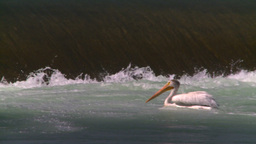 HD2008-7-14-18 weir pelicans Stock Video Footage