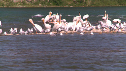 HD2008-7-14-24 pelican seagulls on river sunning Stock Video Footage