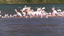 HD2008-7-14-24 pelican seagulls on river sunning Footage