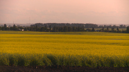 HD2008-7-14-55 canola fields Stock Video Footage