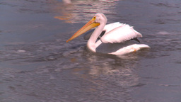 HD2008-7-15-10 pelicans Stock Video Footage