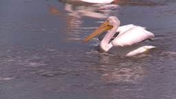 HD2008-7-15-10 pelicans Footage
