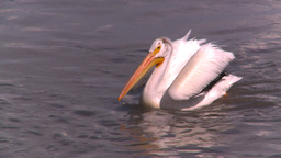 HD2008-7-15-12 pelicans Stock Video Footage
