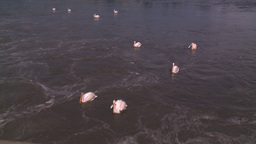 HD2008-7-15-14 pelicans Stock Video Footage