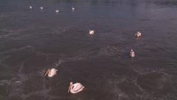 HD2008-7-15-14 pelicans Stock Video Footage
