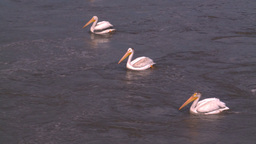 HD2008-7-15-16 pelicans Stock Video Footage