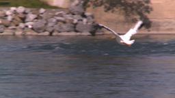 HD2008-7-15-18 pelicans Stock Video Footage