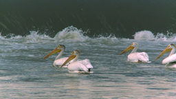 HD2008-7-15-26 pelicans Footage