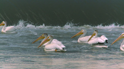 HD2008-7-15-26 pelicans Stock Video Footage