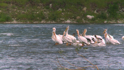HD2008-7-15-28 pelicans Stock Video Footage