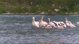 HD2008-7-15-28 pelicans Stock Video Footage