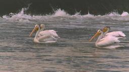 HD2008-7-15-32 pelicans Stock Video Footage