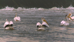HD2008-7-15-32 pelicans Stock Video Footage