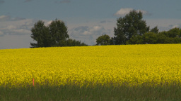 HD2008-7-15-48 canola fields Footage
