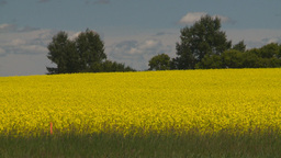 HD2008-7-15-48 canola fields Stock Video Footage
