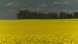 HD2008-7-15-64 canola fields Stock Video Footage