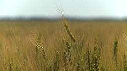 HD2008-7-15-70 wheat Stock Video Footage