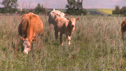 HD2008-7-15-74 cattle Stock Video Footage