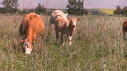 HD2008-7-15-74 cattle Footage