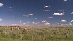 HD2008-7-15-76 cattle Stock Video Footage