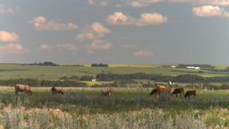 HD2008-7-16-2 cattle Stock Video Footage