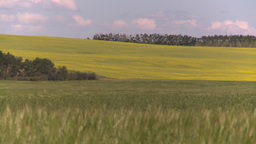 HD2008-7-16-4 canola wheat Footage