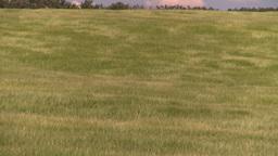 HD2008-7-16-10 wavy barley Stock Video Footage