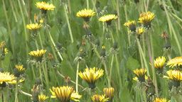 HD2008-6-1-9 dandelions Stock Video Footage