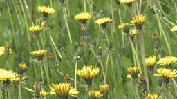 HD2008-6-1-9 dandelions Stock Video Footage