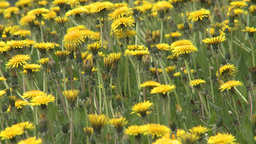 HD2008-6-1-11 dandelions Footage