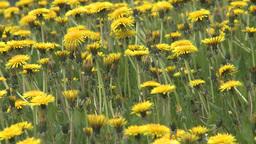 HD2008-6-1-11 dandelions Stock Video Footage