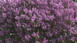 HD2008-6-2-19 lilac tree Stock Video Footage
