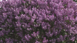 HD2008-6-2-19 lilac tree Footage