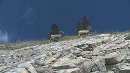 HD2008-6-2-29 mtn sheep Stock Video Footage