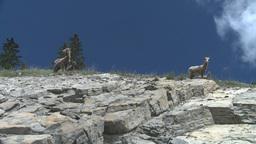 HD2008-6-2-29 mtn sheep Footage