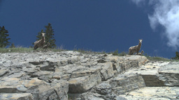 HD2008-6-2-29 mtn sheep Stock Video Footage
