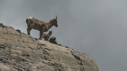 HD2008-6-2-31 mtn sheep Stock Video Footage