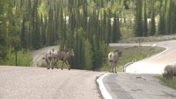 HD2008-6-3-24 mtn sheep on road Stock Video Footage