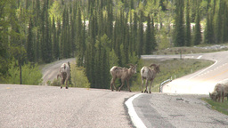 HD2008-6-3-24 mtn sheep on road Footage