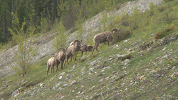 HD2008-6-3-26 mtn sheep on hill Footage