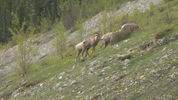 HD2008-6-3-26 mtn sheep on hill Stock Video Footage