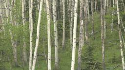 HD2008-6-3-62 aspen woods Stock Video Footage