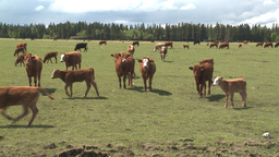 HD2008-6-4-4 cattle ranch Stock Video Footage