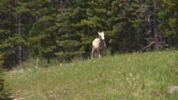 HD2008-6-5-33 mountain sheep spring Stock Video Footage
