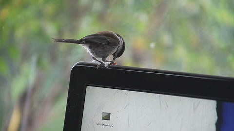 chickadee on a monitor Stock Video Footage