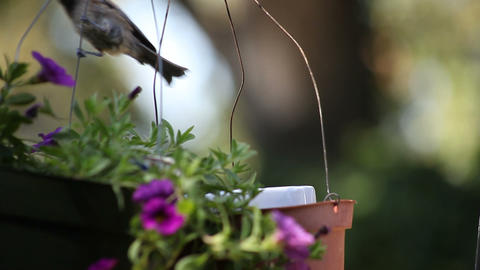 young chickadee does gymnastics Footage