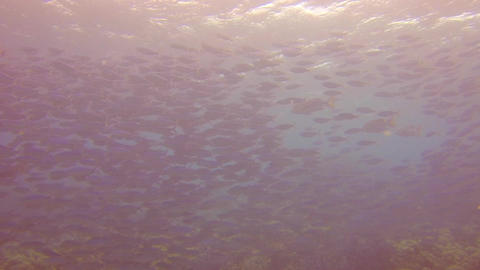 scuba diver swims next to a huge school of fish Stock Video Footage
